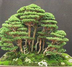 redcedarCU Bonsai Forest, Bonsai Art, Bonsai Plants, Bonsai Garden, Garden Terrarium, Bonsai Trees, Garden Plants, Bonsai Tree Types, Indoor Bonsai Tree