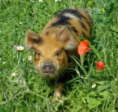 We may be adding these beauties to the Essie Farm... Kune kune pigs