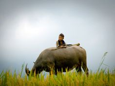 MAY 19, 2010    Boy and Ox, Vietnam  Photograph by Tiong Wee Wong, Your Shot    This Month in Photo of the Day: Travel    I saw this little boy on an ox while traveling alone in Sapa, Vietnam. A simple but carefree life.
