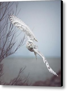 Snowy Owl In Flight Canvas Print / Canvas Art By Carrie Ann Grippo-pike.