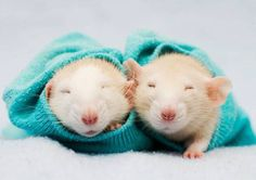 Two rats curl in a blue sweater