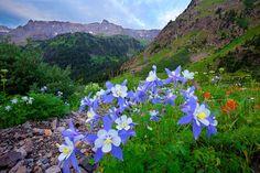 Columbine San Juan Mountains, CO Photographer- Rob Parham San Juan Mountains, Living In Colorado, Photography Workshops, Lake City, Wild Flowers, Planting Flowers, Natural Beauty, Nature, Beautiful Places