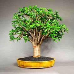 Jade Plant Bonsai, Succulent Bonsai, Jade Plants, Bonsai Art, Bonsai Plants, Bonsai Garden, Exotic Plants, Succulents, Driftwood Planters