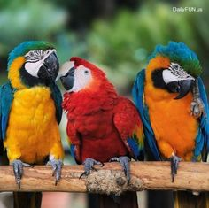 This photo from the TrekNature travel gallery is titled 'Macaw Parrots - Love Triangle Photo'. Kinds Of Birds, Love Birds, Beautiful Birds, Animals And Pets, Baby Animals, Cute Animals, Tropical Birds, Exotic Birds, Budgies