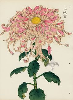 Chrysanthemum Drawing, Japanese Chrysanthemum, Botanical Illustration, Botanical Prints, Illustration Art, Tattoo Fleur, Floral Illustrations, Japanese Art, Tattoos