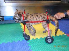 Injured Panther Kitten in Rehab