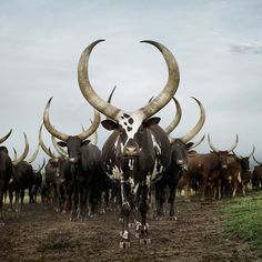 Photography: Daniel Naudé has traveled the world taking majestic photographs of cattle