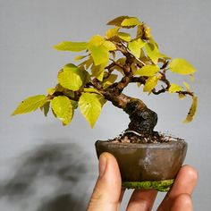 Easy To Grow Houseplants Clean the Air Bonsai, Korean Hornbeam, Mini , Oct. Succulent Bonsai, Bonsai Plants, Bonsai Garden, Garden Trees, Succulents, Mini Bonsai, Easy To Grow Houseplants, Plantas Bonsai, Bonsai Styles
