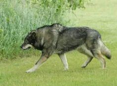 Adult wolf hybrid This thing would scare the CRAP out of someone!  lol