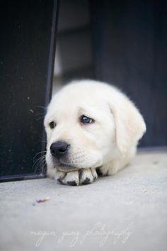 Golden Retriever puppy, pupp, pet, cute, nuttet, sweet, precious, adorable, fluffy, furry, photo #goldenretriever #labradorretriever