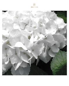 We love these flowers in our garden (Hortensia). It has many simularities with our concept: soft and beautiful, easy-to-care (i.e. comfort for our minds :)), timeless...and loved by many women :)