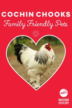 Fluffy, friendly and feathered feet! Thinking of keeping Cochin chickens? Discover 5 reasons to love Cochin chickens here! Backyard Chicken Coops, Chickens Backyard, Cochin Chickens, Chicken Breeds, Egg, Love You, Reading, Children, Girls