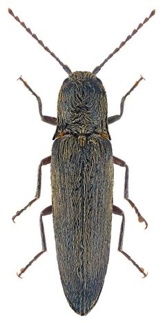 Synaptus filiformis Ancestry Records, Nature Animals, Beetles, Bugs, Creatures, Butterfly, Club, Natural, Illustration