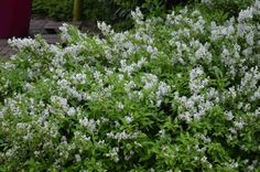 Pavel Chlouba: Rostliny pro nízký, volně rostoucí živý plůtek