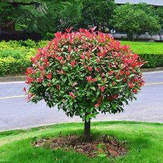 Crepe Myrtle Landscaping, Florida Landscaping, Landscaping Trees, Front Yard Landscaping, Red Tip Photinia, Photinia Red Robin, Red Robin Tree, Side Garden, Flowering Shrubs