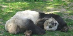 Stop Poaching China's Giant Pandas | Click for details and please SIGN and share petition. Thanks.