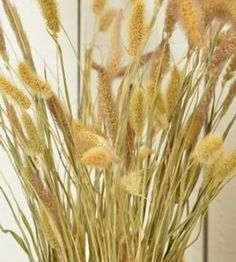 Dried Seteria Grass- Foxtail millet - Love this alone or paired with other dried flowers in spring, summer, and fall bouquets #driedflowers #springdecor #homedecor #summerdecor #falldecor #foxtailmillet #seteriagrass #diyflowers #diycrafts #countrydecor #livingroominspo