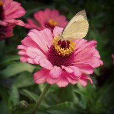 Dália e borboleta