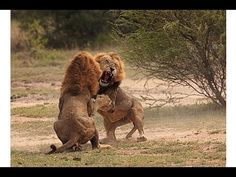 Lion vs Lion,Lions Fight to Death Documentary