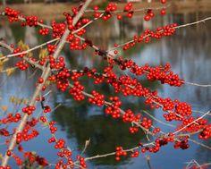 Niente di più invernale e decorativo di questi rami ricoperti di bacche rosse #piante #giardino #inverno #winter #garden #red #berries