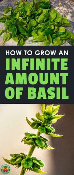 Learn everything you need to know about how to grow basil, including planting, caring, harvesting, storing, and the different types of this tasty herb. #gardening #basil #epicgardening