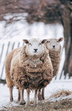 "** ""One sheep or two sheep, be 'sheep'. Two sheep be 'sheep.' We don'tz come cheap. Farm Animals, Cute Animals, Baa Baa Black Sheep, Sheep And Lamb, Counting Sheep, Tier Fotos, All Gods Creatures, Sheep Wool, Beautiful Creatures"