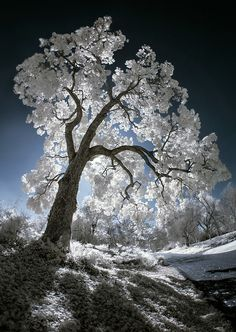 Luminescent Tree IR is part of Nature tree - Los Angeles County Arboretum and Botanic Garden, Digital Infrared Landscape Photography, Nature Photography, Landscape Pics, Travel Photography, Unique Trees, Winter Scenery, Nature Tree, Tree Forest, Tree Art