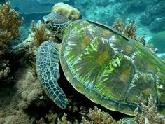 Sea Turtle in Iridescent green and blue colors UNDERWATER GLORY!