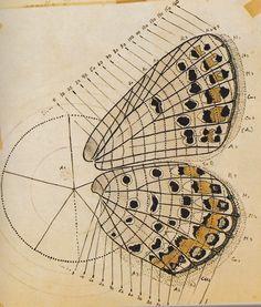 Nabokov's butterfly anatomy.