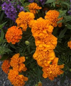 Marigold 'Bonanza Deep Orange' is an excellent container and drought-resistant plant as Doug's review pointed out