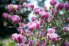 Magnólia (liliomfa): Az ültetéstől a gondozásig minden (Teljes útmutató)
