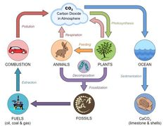 Construct a diagram of the carbon cycle Teaching Geography, Teaching Biology, Biology Classroom, Teaching Resources, Plant Science, Earth Science, Science Lessons, Life Science, Gcse Biology Revision