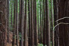 Bosque de secuoyas  #Cantabria #Spain
