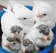 Canary Birds, Baby Chicks, Pretty Birds, Rodents, Pigeon, Beautiful Creatures, Serin, Animals And Pets, Finches