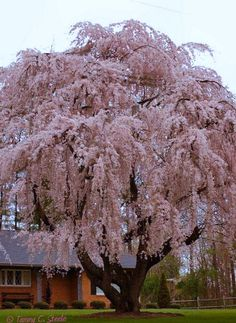 100 year-old flowering cherry tree - Nature Is Beautiful. Weeping Cherry Tree, Flowering Cherry Tree, Weeping Trees, Trees And Shrubs, Trees To Plant, Foto Poster, Unique Trees, Old Trees, Nature Tree