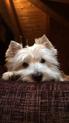 ❤️ Just want to kiss that Westie nose!
