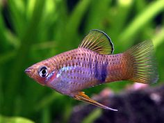 phallichthys fairweatheri - Google Search