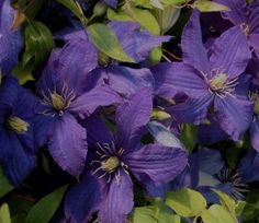 Clematis Rhapsody Group June to Sept with Shropshire Lad Driveway Border, Clematis Trellis, Leaves, Climbing, Flowers, Plants, Gardens, Mood, Group
