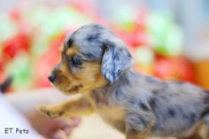 Dapple Longhaired Dachshund - Adorable!