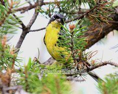 Kirtlands Warbler  Rare Bird Photography  by FeatherWindStudio