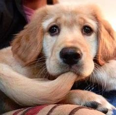 Golden Retriever Pup ~ Classic Worried Look Cute Puppies, Cute Dogs, Dogs And Puppies, Doggies, Cute Baby Animals, Funny Animals, Wild Animals, Amor Animal, Baby Dogs