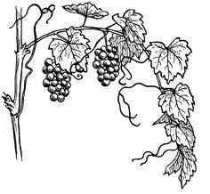 рисунок виноград: 19 тыс изображений найдено в Яндекс.Картинках