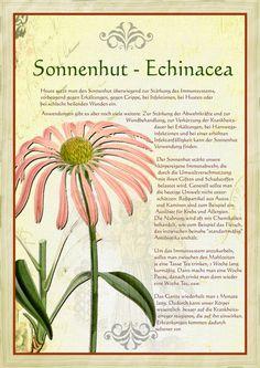 Pimpinelle Verwendung In Der Küche | Krauter Steckbrief Eberraute Artemisia Abrotanum Eigenschaften