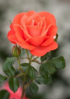 This flower is a beautifulk rose