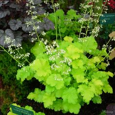 Striking shades of lime green rufflied foliage in neat mounds with pretty white flowers in Summer. Bred by Janet Egger.