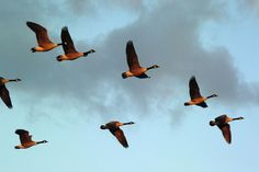 Canadian Geese - my favorite bird!!  I always have to stop, in awe, when they fly overhead!!