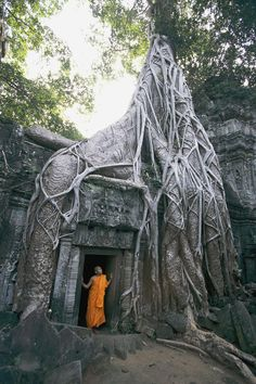 A Strangler Fig's Gnarled Roots Creep Over Part of an Ancient Buddhist Temple