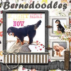 Adopt a mini Bernedoodle from Prairie Willow Golden Mountain Dogs. www.prairiewillowdogs.com Mini Bernedoodle, Mini Goldendoodle, Bernese Mountain, Mountain Dogs, Doodles, Puppies, Baby Dogs, Bernese Mountain Dogs, Pup