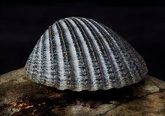 Cockle shell by mPascalj