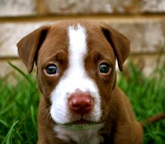 Pitbull Puppy He loves the camera!
